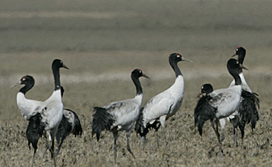 Endangered Black Neck Cranes – Phobjikha